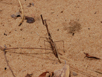 Unidentified Stick Insect