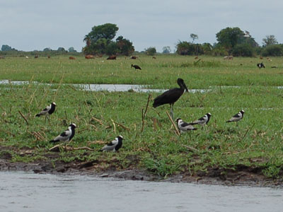 Blacksmith Lapwing & African Openbill