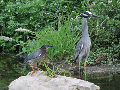 Green Heron & Yellow-crowned Night Heron