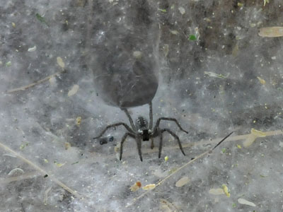 Unidentified Funnel-web Spider