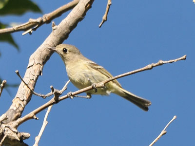 possible Hutton's Vireo