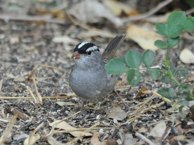 Oriantha White-crowned Sparrow
