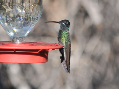 Magnificent Hummingbird
