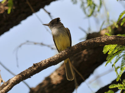 possible Ash-throated Flycatcher