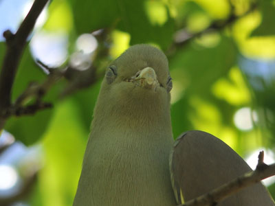 Unidentified Green Pigeon