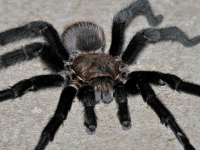 Unidentified Tarantula