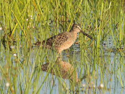 possible Dowitcher
