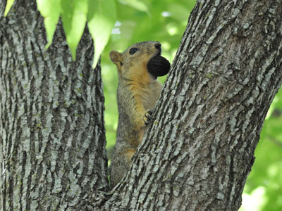 Eastern Fox Squirrel