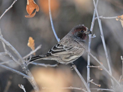 probable House Finch (male)