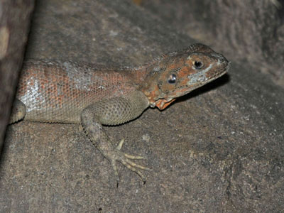 Common Agama
