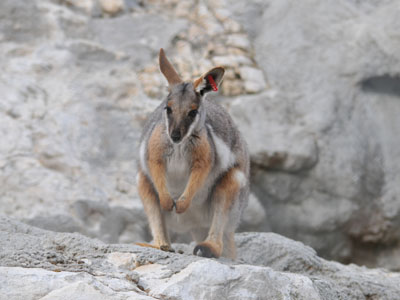 Yellow-footed Rock Wallaby