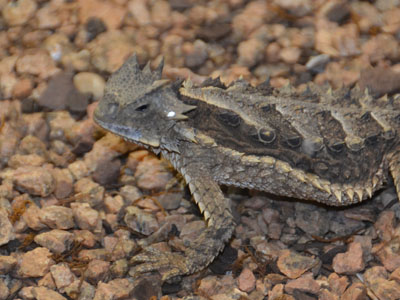 Giant Horned Lizard