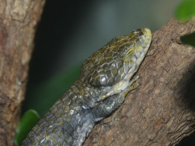 Mixtecan Alligator Lizard
