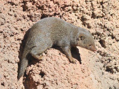 Common Dwarf Mongoose