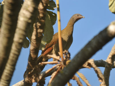 Grey-headed Chachalaca
