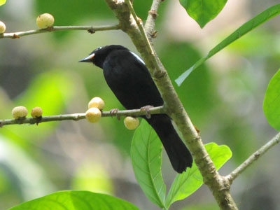 White-shouldered Tanager