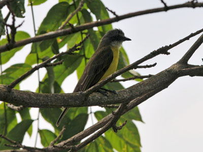 Grey-capped Flycatcher
