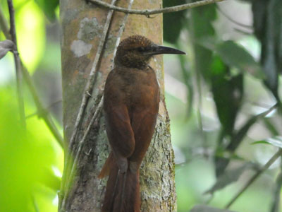 Northern Barred Woodcreeper