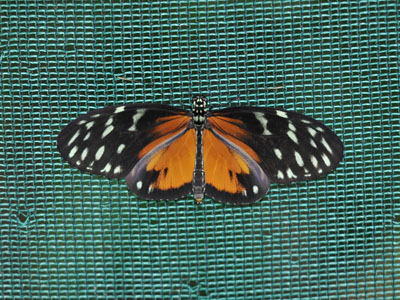 Unidentified Butterfly or Moth