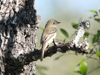 Unidentified Flycatcher