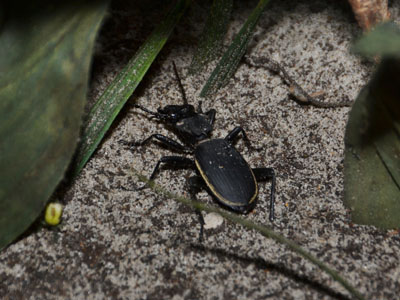 Unidentified Ground Beetle