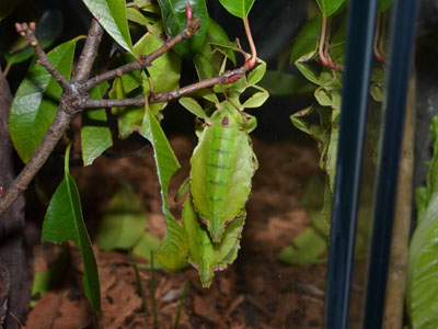 Walking Leaf Insect