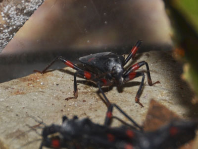 Red-spotted Assassin Bug