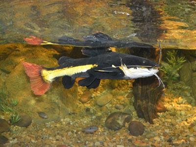 South American Redtail Catfish