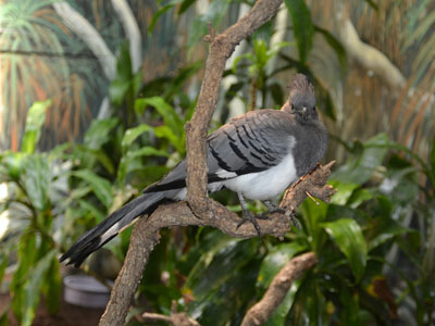 White-bellied Go-away-bird