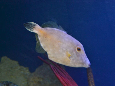 American Whitespotted Filefish
