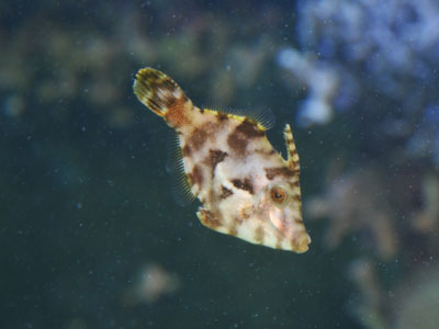 Matted Filefish