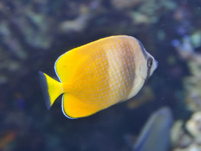 Sunburst Butterflyfish