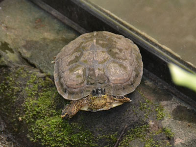 Brown Wood Turtle