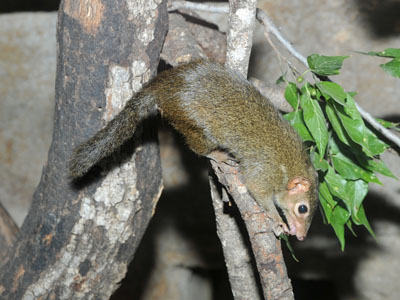 Northern Tree Shrew