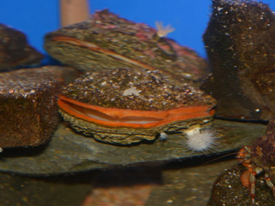 Giant Rock Scallop