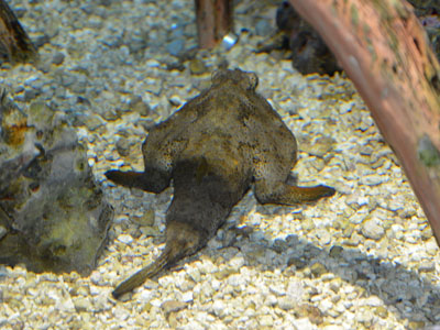 Polka-dot Batfish