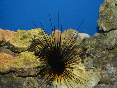 Long-spined Sea Urchin