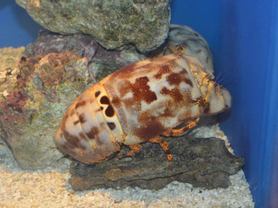 Unidentified Slipper Lobster