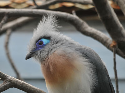Crested Coua