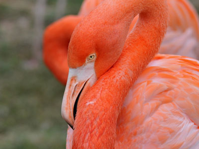 Unidentified Flamingo