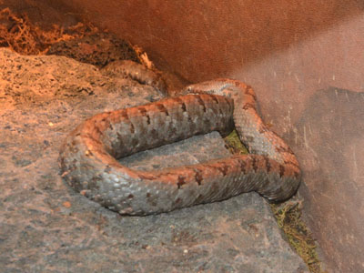 Cross-banded Mountain Rattlesnake